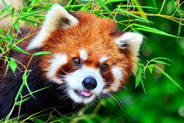 Favori Un panda roux | Pandas roux, Panda et Urgences OH52