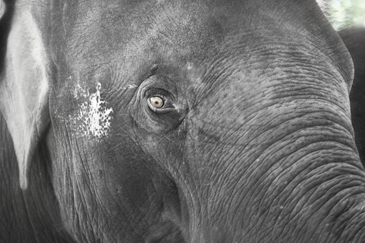 An Asian elephant in one of Thailand's elephant conservation parks. I immediately fell in love with this huge creature with her mesmerizing eyes.