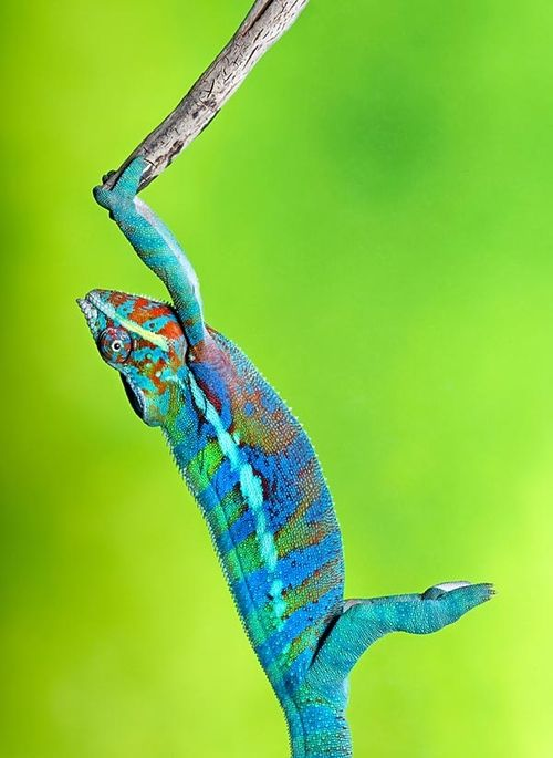 Digimorph  Chamaeleo calyptratus veiled chameleon