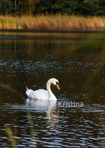 By Ann-Kristina Al-Zalimi, joutsen, kyhmyjoutsen, svan, swan, Cygnus olor, knölsvan, mute swan