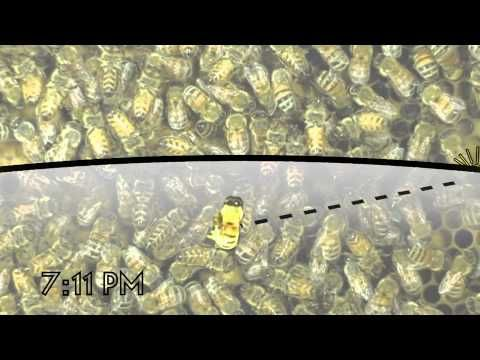 honey bees' waggle dance