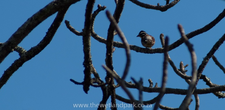 Many birds to be found in the Hluhluwe-Imfolozi Game reserve