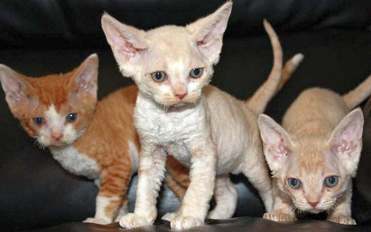 Devon rex  kittens...