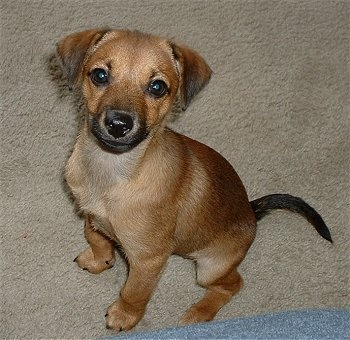 Chihuahua/terrier mix - Google Search