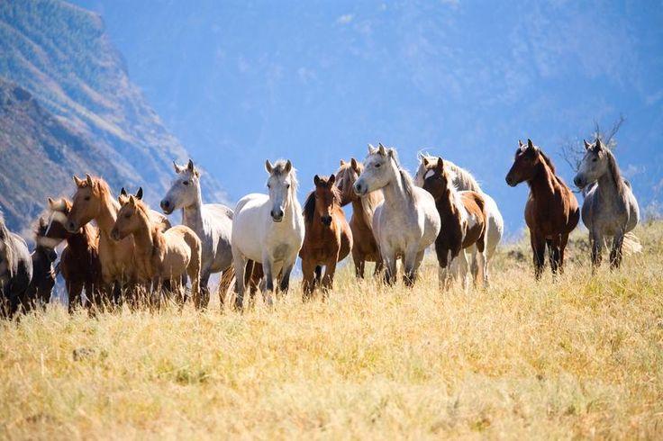 USA, in Wyoming la prima ed unica riserva di Cavalli Mustang - La Stampa