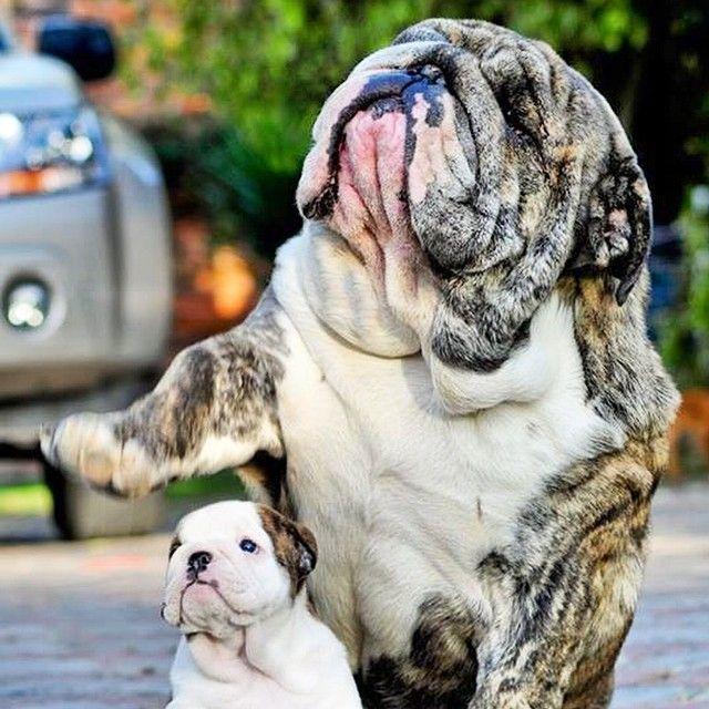 English Bulldog. AC
