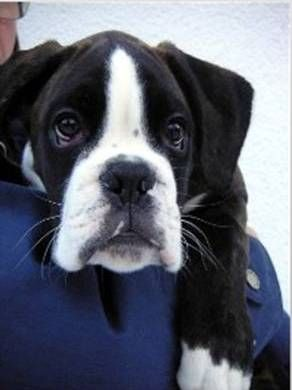 The not-quite #black #boxer- called a seal reverse brindle...look at that face!