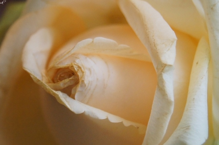 a white rose