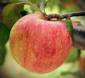 Pommier Norkent - Zone 2 - Pomme sucrée et croquante  -