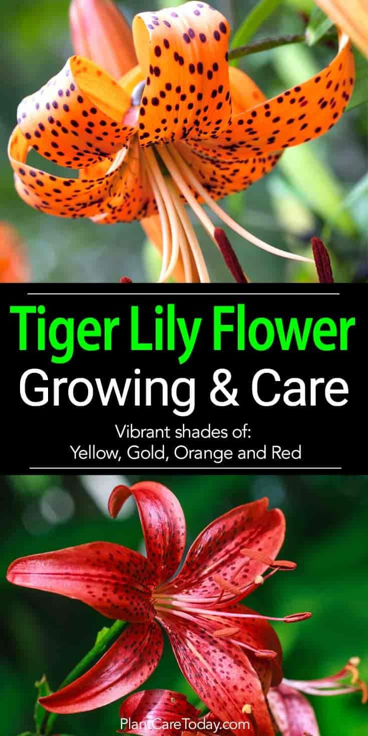 The Tiger Lily Flower In Vibrant Shades Yellow Gold Orange And Red Hardy Produces Vast Numbers Of Flowers Up To 12 Per Stem Growing