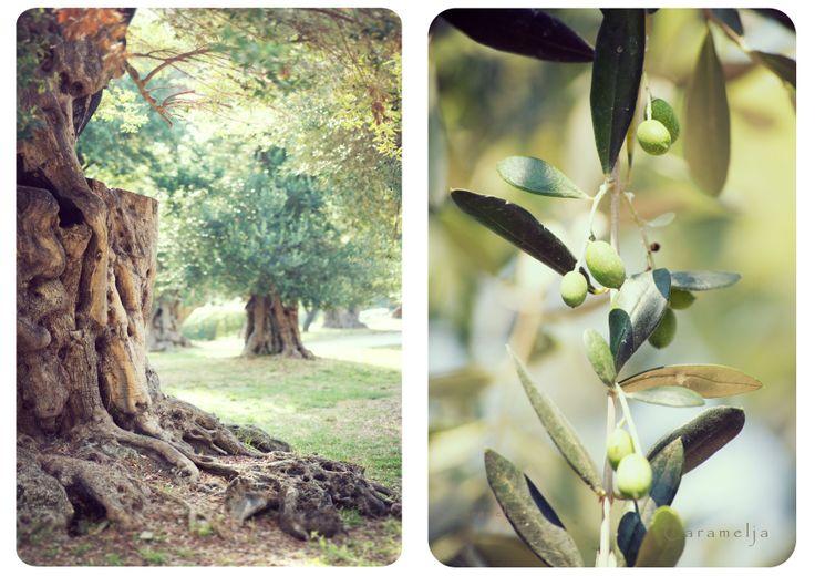 Oliven Olivenbaum Südfrankreich