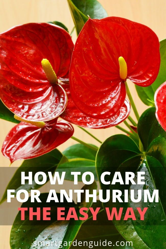 How To Care For Anthurium The Easy Way Flamingo Flower In 2020