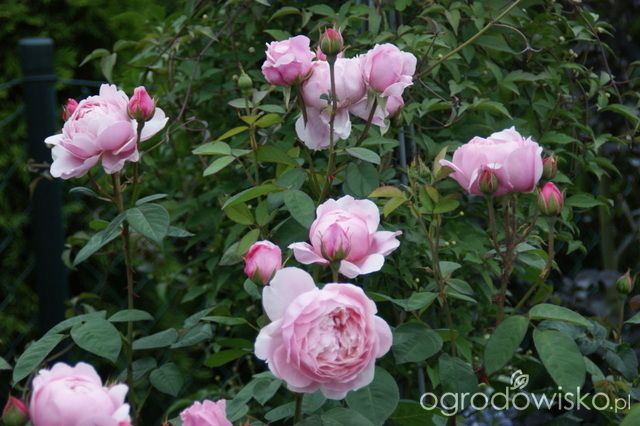 Madżenie ogrodnika cz. aktualna - strona 536 - Forum ogrodnicze - Ogrodowisko