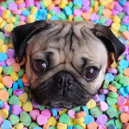 Pug in candy! what can get better??!! Except pug with pizza :3