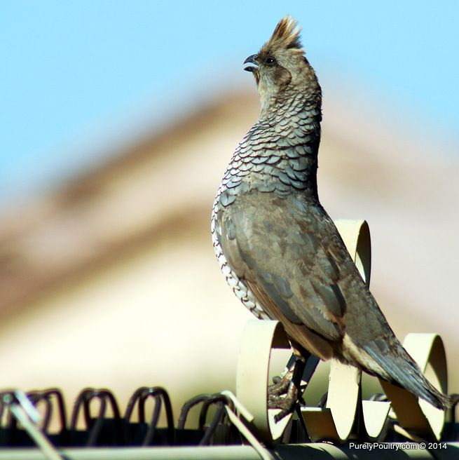Blue Scale Quail are both unique and popular birds.  They enjoy eating seeds, fruits, grasses, other greens, and insects.  This breed prefers to run than fly and can reach speeds of 15 miles per hour while running!  Catch them while you can!  (920) 472-4068