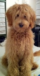 Labradoodle Puppies for sale Australian Labradoodles California, Nevada, Arizona, San Diego California. Are these puppies better than Golden Doodles?? We Ship to New York, Chicago, Florida, Amanda Grande's Ophelia puppy