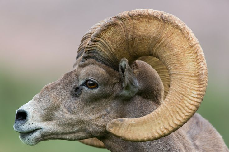 1000+ images about Big Horn Ram on Pinterest