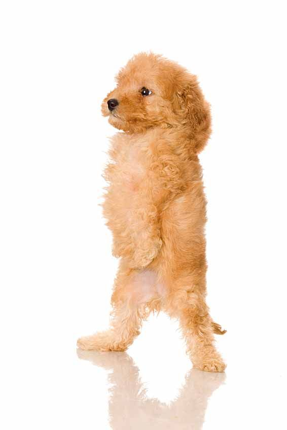 French Poodle puppy looking for French dog names