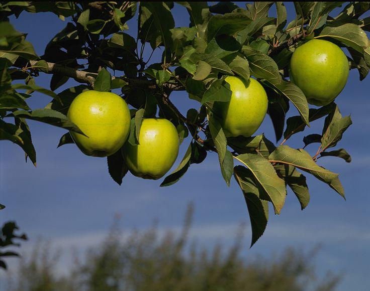 Every good tree bears good fruit. #WashingtonApples