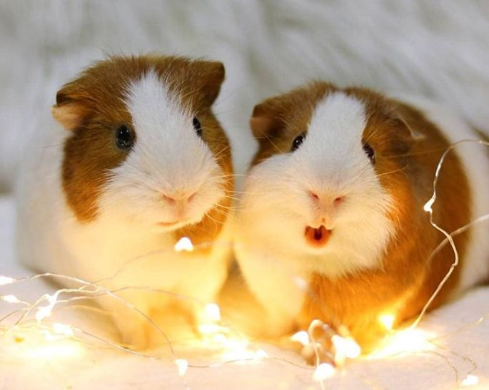 Twin Baby Guinea Pigs