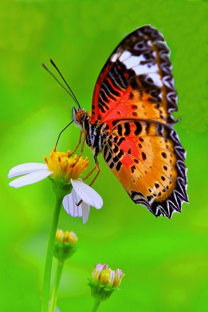 Leopard Lacewing by Kenneth Er, via Flickr