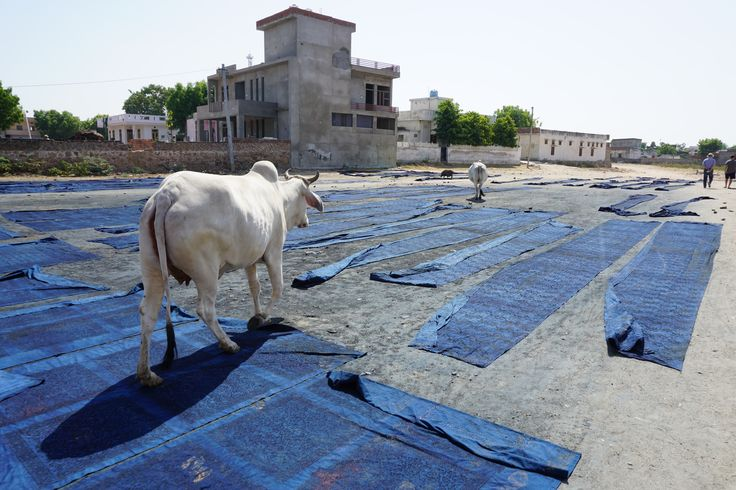 Cows have right of way in India! (Indigo dyed block printed textiles drying in the Bagru sun)