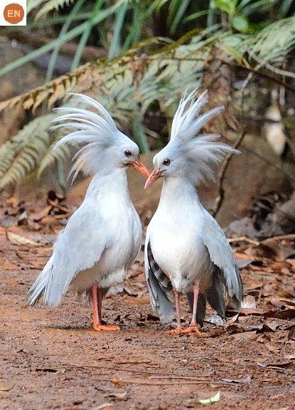 https://www.facebook.com/pages/THI%C3%8AN-NHI%C3%8AN-K%E1%BB%B2-TH%C3%9A/171150349611448?ref=hl Chim Kagu, New Caledonia | Kagu/Cagou (Rhynochetos jubatus)(Rhynochetidae) IUCN Red List of Threatened Species 3.1 : Endangered (EN) | (Loài nguy cấp)