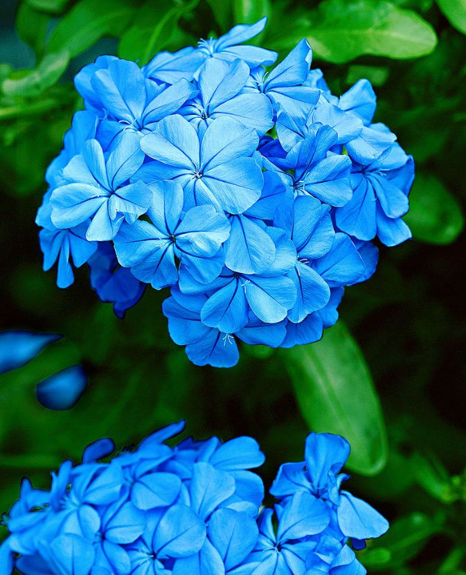 #plumbago #summer #estate #flowers #fiori #blue #blu