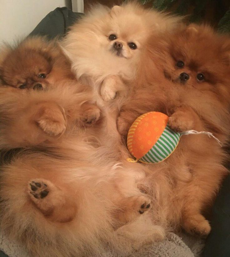 """""""The dog with the most fur holds the ball at nap time!"""""""