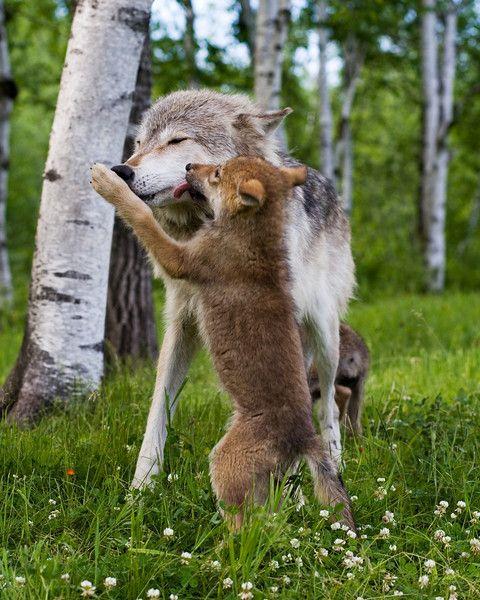 Les 25 meilleures id es de la cat gorie loups gris sur - Cuisiner vesse de loup ...