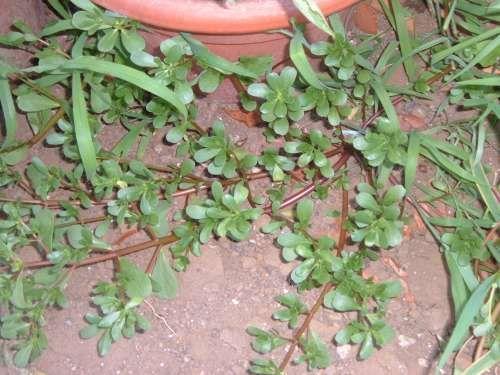 Portulaca oleracea o erba  porcellana. pianta commestibile