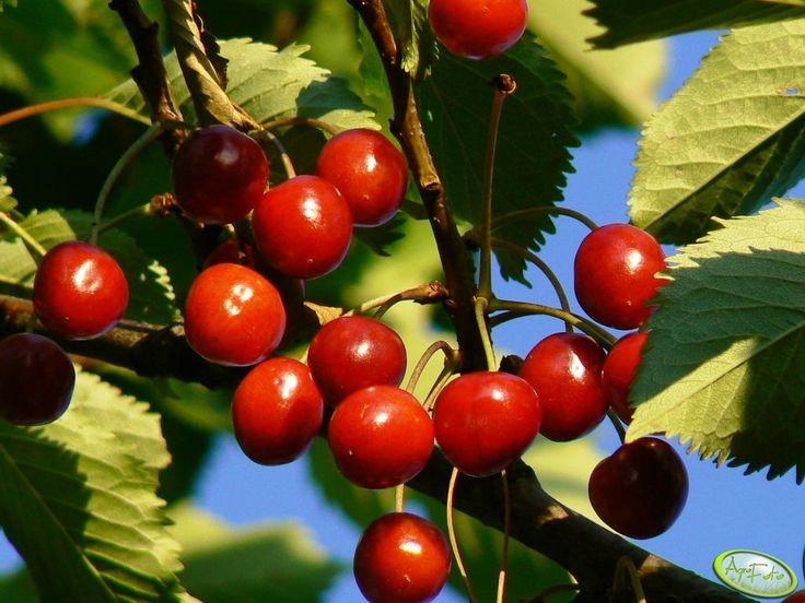 #czereśnie #owoce #lato #wakacje #pyszne  http://www.agrofoto.pl/forum/gallery/image/73466-czeresnia/