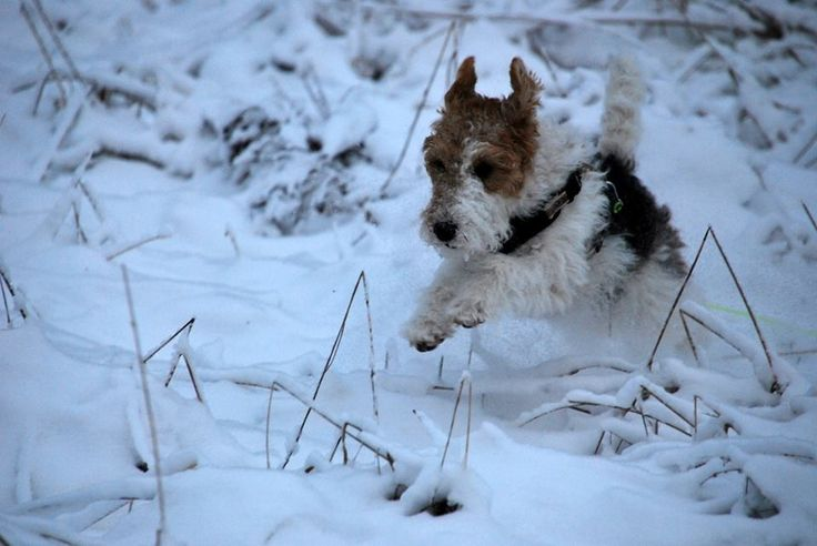 69 best Smilla the foxterrier images on Pinterest