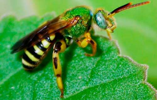 What do sweat bees look like?