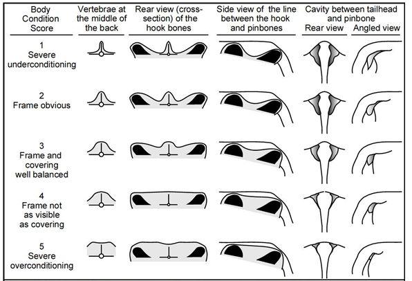 Dairy Cattle Body Condition Scoring Chart (Edmonson et al. 1989)