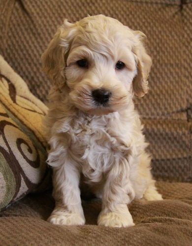 Cockapoo Puppy......there is a type of dog called a cockapoo....i want one.....