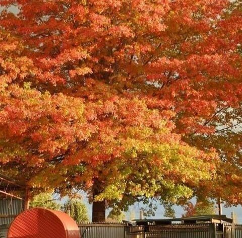 Glorious autumn leaves in the Glen Innes Highlands.  Photo by Shot by Terry