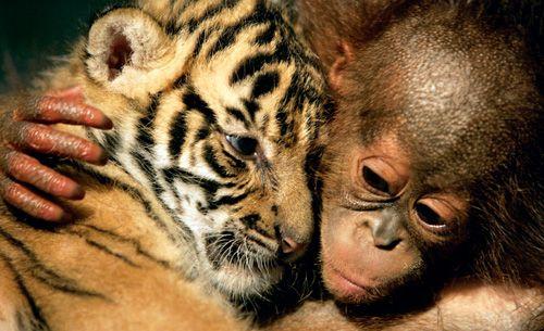 <strong>Zwerghamster »Gohan«, Rattenschlange »Aochan«, Japan 2006: </strong>Aochan, die Schlange, lebte im Zoo und hatte zwei Wochen nichts gefressen, also servierte ihr der Wärter einen Hamster. Der kletterte auf der Schlange herum, doch Aochan zeigte keinen Appetit. Im Gegenteil: Die beiden wurden Freunde und die Attraktion des Zoos.