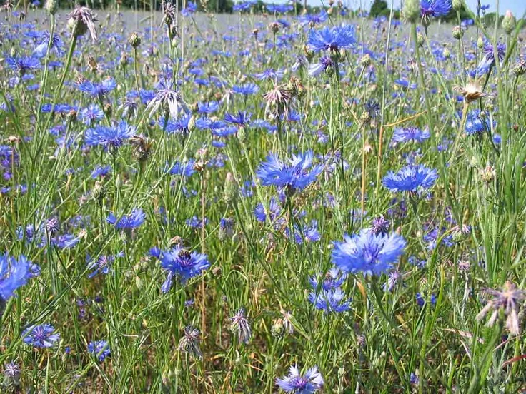 Ruisukka, rye field is blooming
