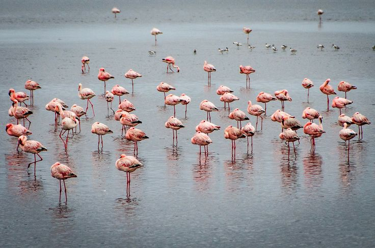 Group Of Flamingos 93
