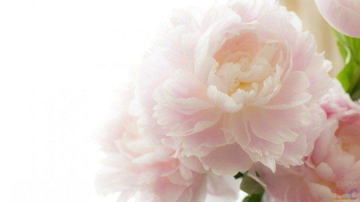 Крупные нежно-розовые пионы