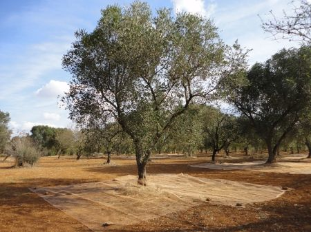 farm house with olive grove for sale