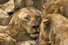 Okavango Delta - Botswana - Lions