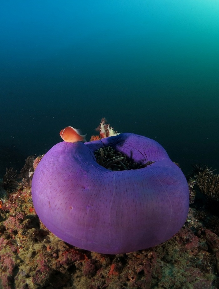 The quantity of fish frequenting the reef shows the condition of the coral to be very healthy. Photo by Raditya Kosasih