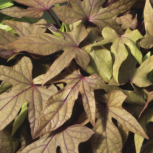 'Sweet Caroline Bronze' - Sweet Potato Vine - Ipomoea batatas