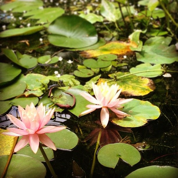 Pink water lilies and hiding frog. Photo by jsoplop