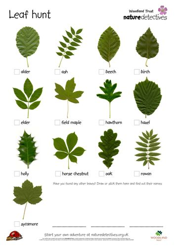 Ticklist of common tree leaves    •alder   •ash   •beech   •birch   •elder   •field maple   •hawthorn   •hazel   •holly   •horse chestnut   •oak   Get kids outdoors exploring and bring the outdoors into your classroom  with this fresh activity from the Wo...