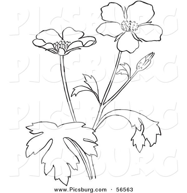 66 best event designing images on pinterest event design for Buttercup flower coloring pages