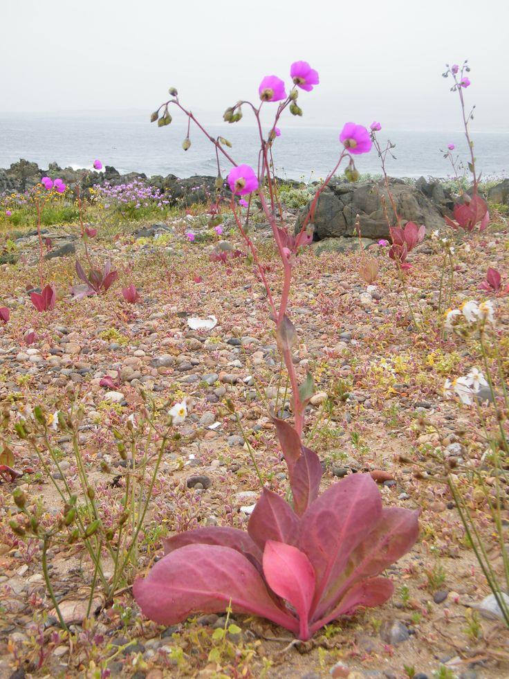 Comunidad Ecológica Los Toyos. Desierto florido. Fenómeno que se produce en el desierto de Atacama. Fotografía tomada por MAMC-TOÑA