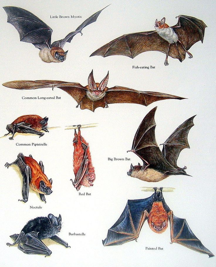 bats illustrated